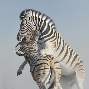 Dominance by Neal Cooper - Animals Other Mammals ( etosha, fighting, zebra, zebras )