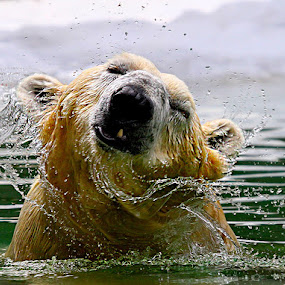 Polar Shake by John Larson - Animals Other Mammals ( carnivorous bear, fantastic wildlife, maritime bear, vulnerable species, polar bear, arctic circle,  )