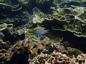 Photo: Neoglyphidodon meles (Bowtie Damselfish), Small Lagoon, Miniloc Island, Palawan, Philippines.