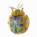 Geiger Tortoise Beetle