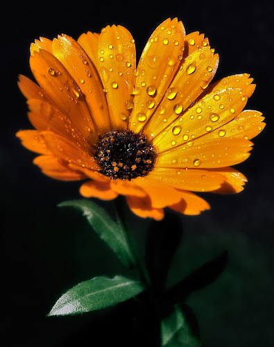 Rain on an orange daisy by Peter Greenhalgh - Nature Up Close Flowers - 2011-2013 ( black background, orange, daisy, raindrops, rain )