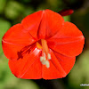 red morning glory, redstar
