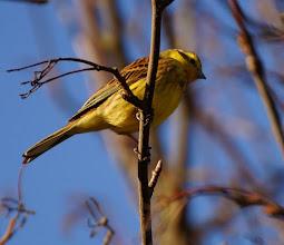Photo: Yellowhammer © Jim Pewtress 2015