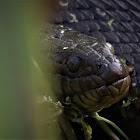 Florida Green Water Snake