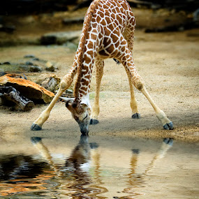A Long Drink of Water by Alabama Photos - Animals Other Mammals ( giraffe, wildlife, mammal )