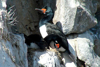 Photo: Rock cormorant pair on nest - Beagle Channel - pelagic trip  out of Ushuaia, Tierra del Fuego, Argentina - Nov 24, 2010