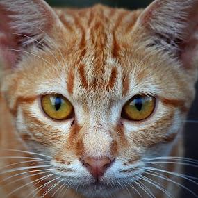 Portraits by Mohd Norsabree Sailan - Animals - Cats Portraits ( amatuer, cats, feel, pwcholidays-dq, cutes, portraits, eyes )