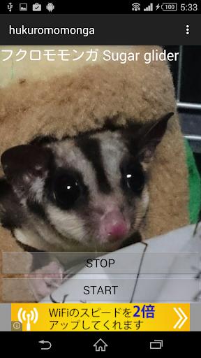 動物鳴き声フクロモモンガ