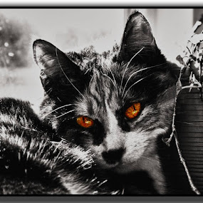 My eldest cat Relaxing Selective colouring by Mike Hague - Animals - Cats Portraits