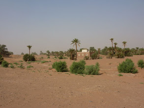 Photo: Because of the use of a irrigation channel dug by the locals these tamarisk are surviving well.