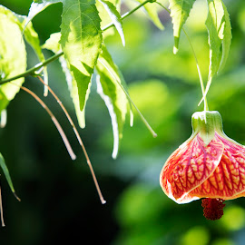 Lantern flower by Scott Thomas - Flowers Flowers in the Wild ( red, nature, light, hanging, flower )