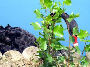Photo: Ca' bura, il cigno nero, 2006