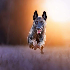 by Niclas Ådemark - Animals - Dogs Running