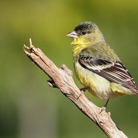 Lesser Goldfinch  by Andrew Johnson - Animals Birds ( bird, nature, wildlife, finch, animal,  )
