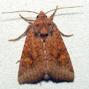 American Ear Moth