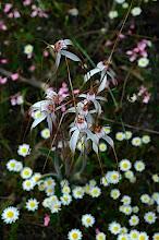 Photo: Caladenia longicauda?