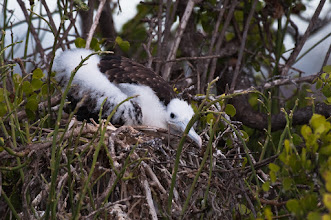 Photo: Frigatebird chick; North Seymour
