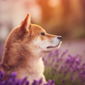 Oushou the King  by Magdalena Sikora - Animals - Dogs Portraits ( shiba inu, dog portait, red dog, dog in lavender, sunrise shiba portait )