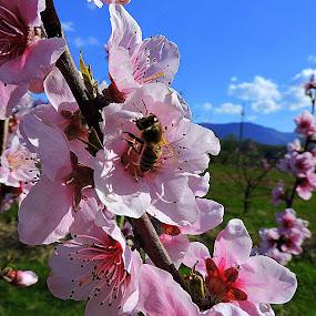 Peach plantation by Ana France - Flowers Flower Gardens