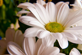 Photo: I originally had a different image in mind for todays #FloralFriday (curated by +Tamara Pruessner ) , but this white chrysanthemum jumped out at me instead - a fresh, bright to start the day :)