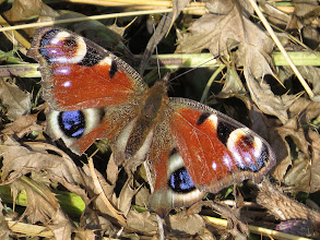 Photo: 14 Aug 13 Wood Lane: At first glance this Peacock butterfly looks very smart: but just look at the ragged trailing edge of the wings. Seen better days / been in a fight? (Ed Wilson)