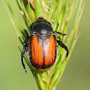 Wheat Grain Beetle