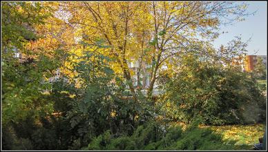 Photo: Fraxinus excelsior 'Aurea' -  - din Turda,  Piata 1 Decembrie 1918 - 2018.10.11