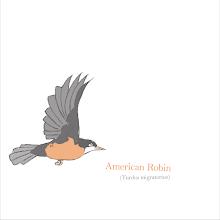 Photo: American Robin study