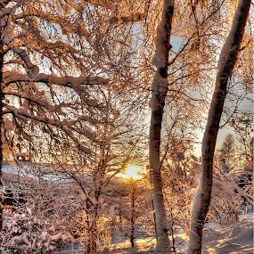Winter sun by Jan Myhrehagen - Nature Up Close Trees & Bushes ( winter, sunset, trees, light, sun )