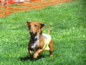 Photo: More than 100 wiener dogs raced at Turf Paradise as part of the Phoenix track's Sain Patrick's Weekend celebration. Photo by Turf Paradise
