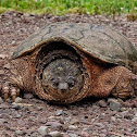 Snapping turtle (female)