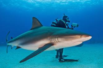 Photo: Caribbean Reef Shark, Bahamas