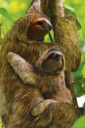 Costa-Rica-Mother-Baby-Three-Toed-Sloths.jpg - A mother and baby three-toed sloth seen while hiking through Manuel Antonio National Park, Costa Rica.