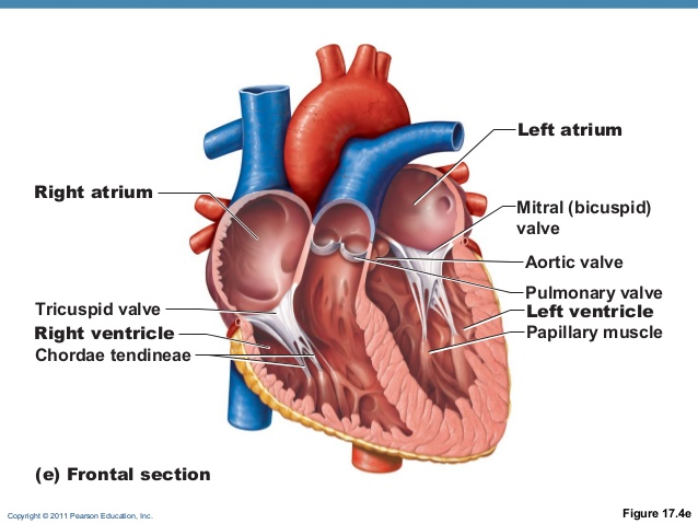 idiosyncratic knowledge: heart string (chordae tendineae), Human Body