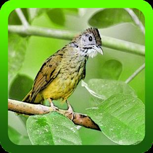 Kicau Burung Cucak Jenggot Gacor - náhled