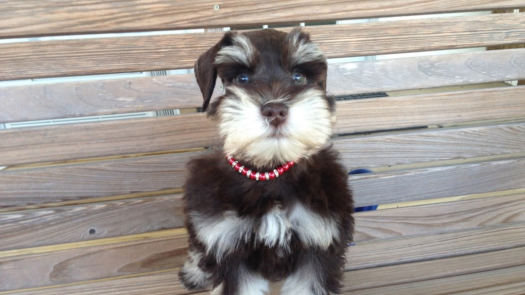 Schnoodles Miniature Schnauzers And Toy Poodles Dog Breeder