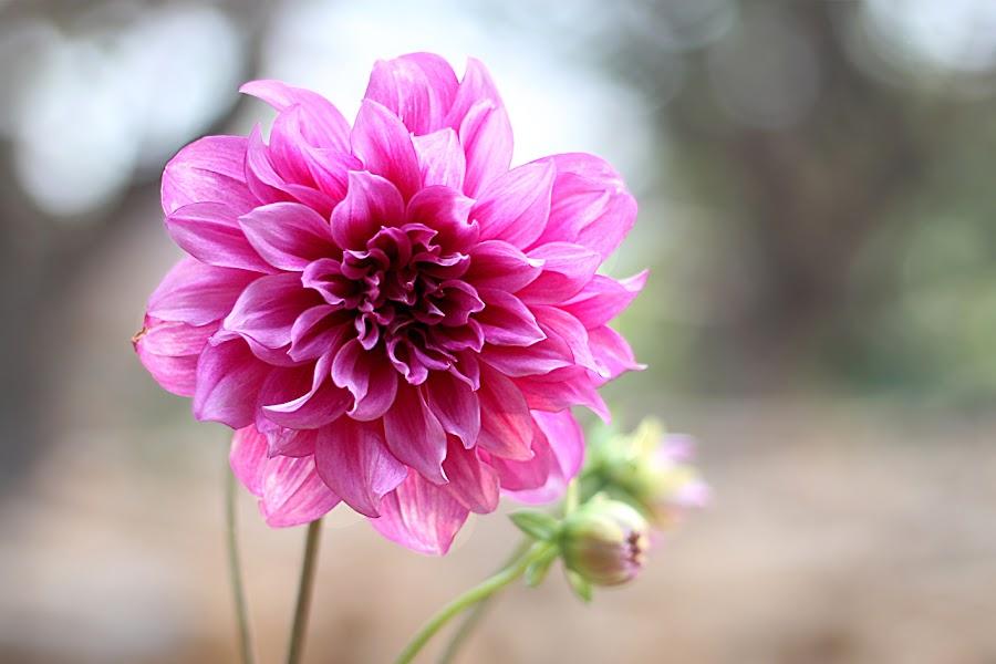 My Flower by Ali Mustofa - Flowers Flower Gardens ( #flower )