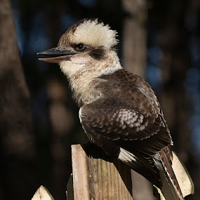 Laughing Kookaburra by Erica Siegel - Animals Birds ( bird, predator, kingfisher, laughing kookaburra, kookaburra )