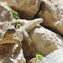 Dhab, Egyptian spiny-tailed lizard