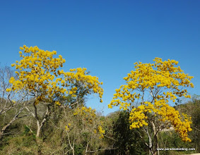 Photo: Flowering Primavera trees (Tabebuia sp.) on the road to Tehuamixtle