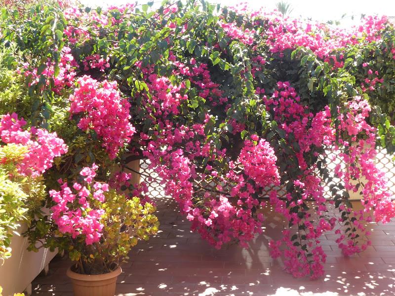 bouganville fiorita di quattrocchi