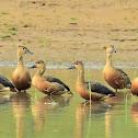 Duck  -  Lesser Whistling-duck