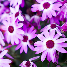 Pink Flowers by Svemir Brkic - Flowers Flower Gardens ( pink, flowers, garden, petals, group,  )