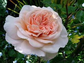 Photo: 'Evelyn' David Austin English rose