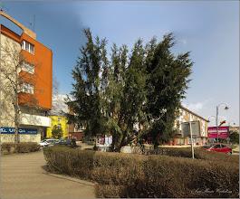 Photo: Tisă (Taxus Baccata)   - din Turda, Str. Libertatii - 2019.03.25