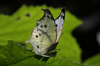 Photo: Mother of Pearl (Salamis anacardii)