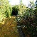Reedgrasses
