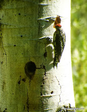 """Photo: #4-fem. sapsucker carries food to cavity """"start"""" above nest to better prepare it for delivery"""