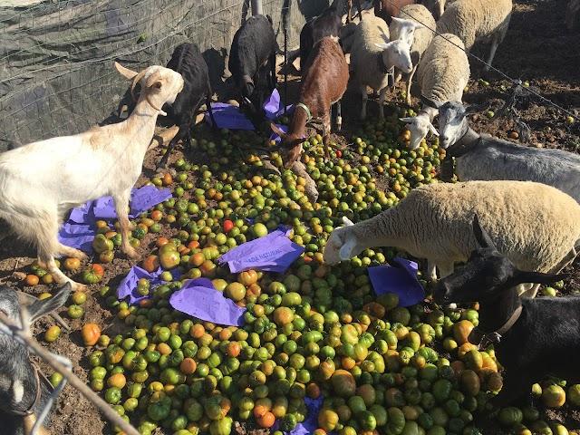El ganado de animales comiendo tomate asurcado.