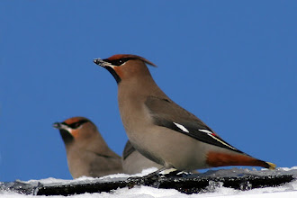 Photo: Bohemian Waxwings on my roof for #BirdPoker : Winter Birds curated by +Phil Armishaw  These guys spent lots of time on my roof eating snow. A tough bird to get eye level shots, since they like to stay high up.